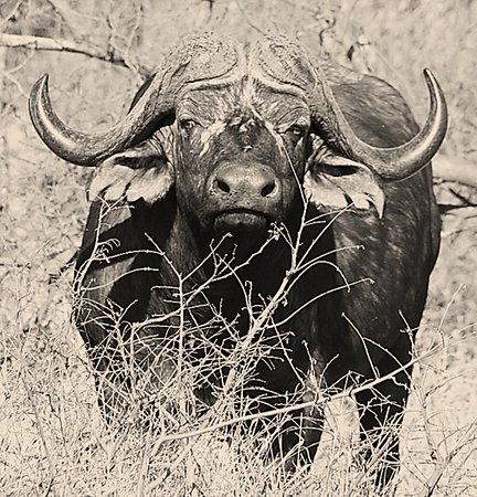 Cape Buffalo, Greater Kruger National Park, South Africa