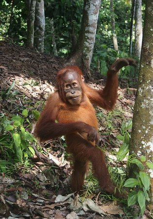 young orang-utan