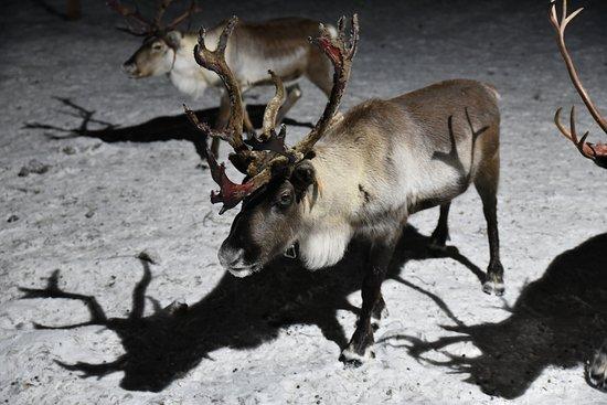 Sámi Siida - Márkanbáiki: Reindeers