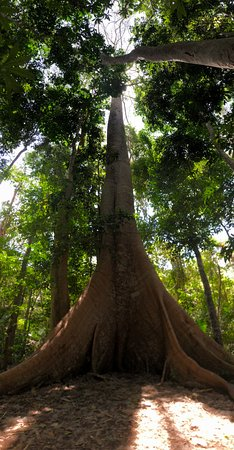 The impressive Samauma tree at the top of the ridge