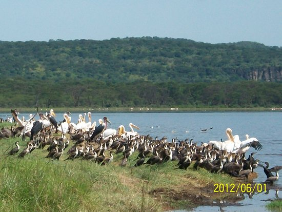 Embakasi, Kenya: Pelicans and Marabustock in Lake  Nakuru national park their the common birds in this park.