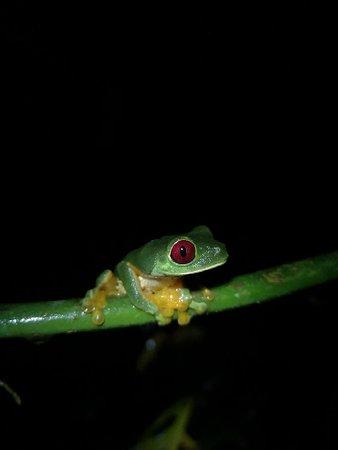 Cat Eyed Snake eating Red Eyed Tree Frog eggs