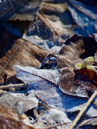 Frosty Leaves on June Lake trail.