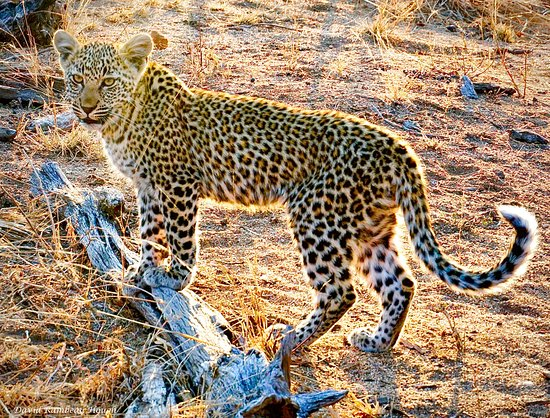Londolozi Private Game Reserve, África do Sul: A local resident of the Safari