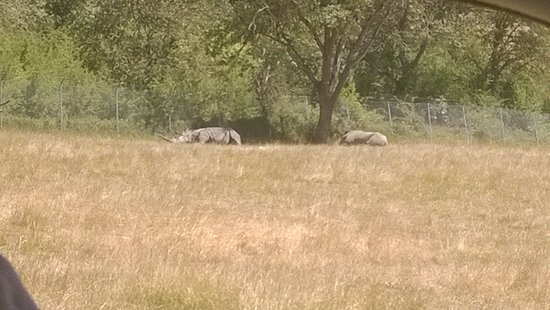 Wildlife Safari: Rhinos out in the field