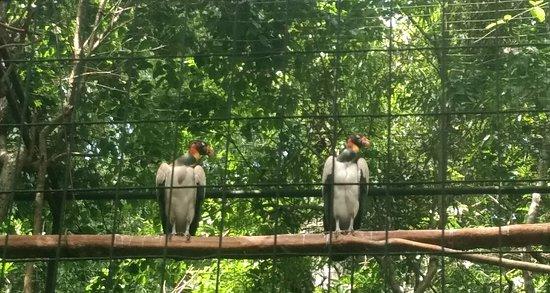 Parque das Aves: Urubú-Rei