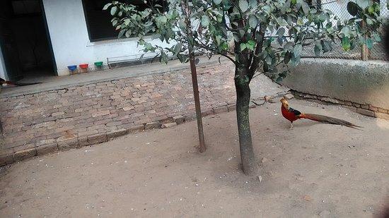 Kathmandu, Nepal: golden pheasant
