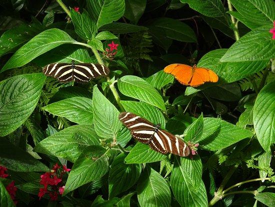 Verschiedene Passionsfalter (denke ich) im Schmetterlingsgarten