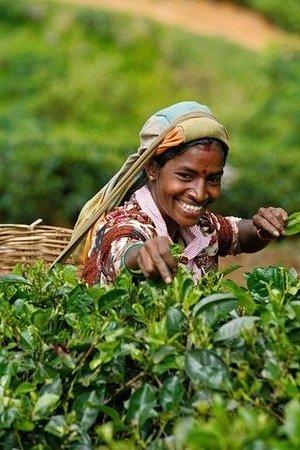 Tea plucking lady