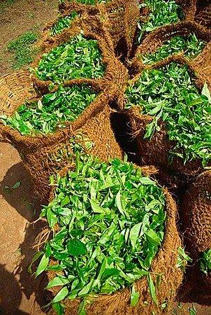 Tea leaf's Transport