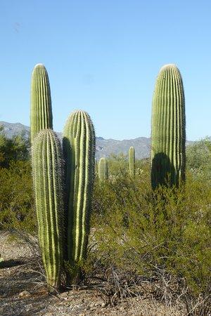 Unga saguaros