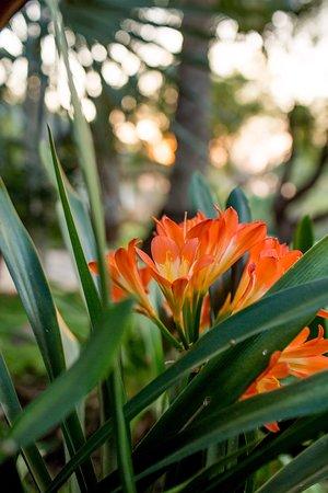 Clivia flowers- too beautiful!