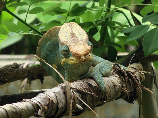 Lemuria Land: cameleon