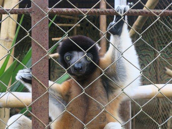 Lemuria Land: lemurien sifaka en cage