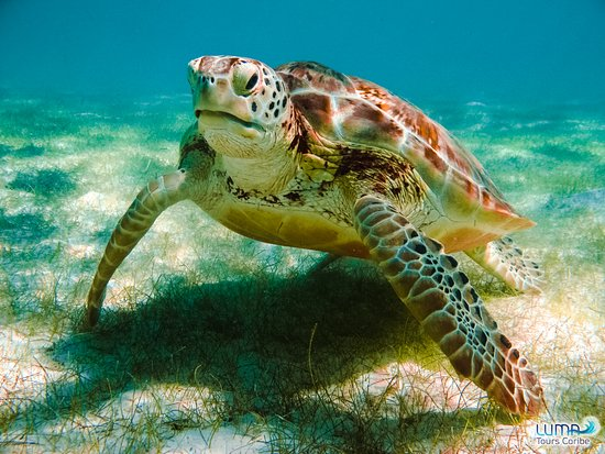 Snorkeling with turtles.