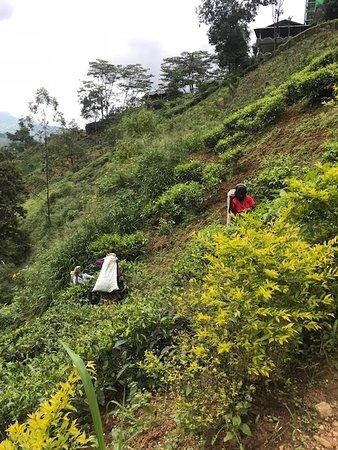 Gayan Tour Srilanka: Так собирают чай и в зависимости от разновидности чая, разная методика сбора