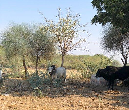 The ubiquitous cow
