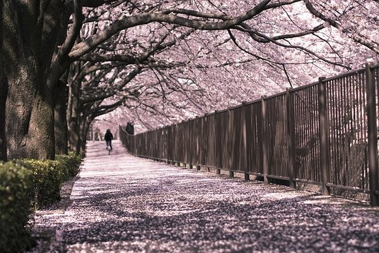 Cherry Blossom Viewing and Tokyo...