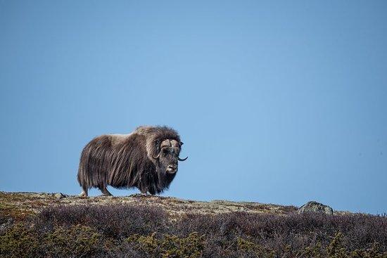 Musk Ox Safari in Dovrefjell National...