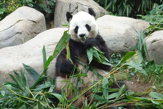 Privat dagstur: Chengdu Panda...