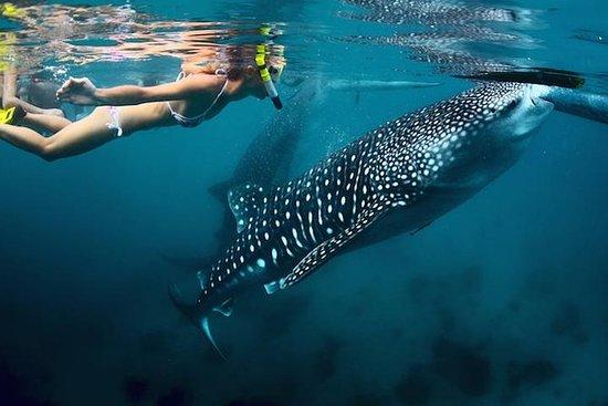 Buceo de superficie con tiburones...