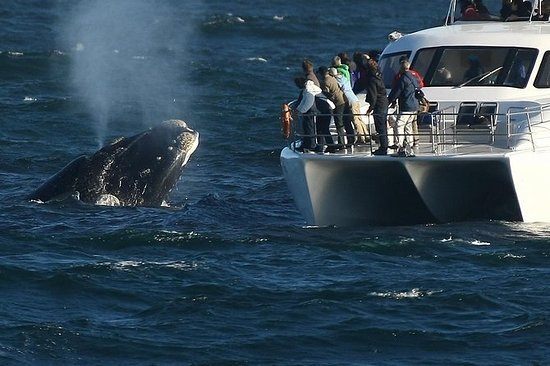 Whale Watching en Hermanus Wine ...