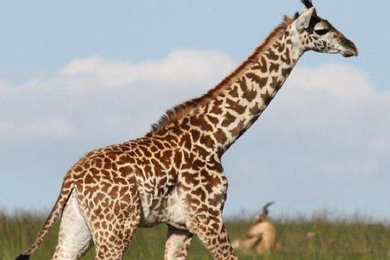 Giraffe Center og David Sheldrick...
