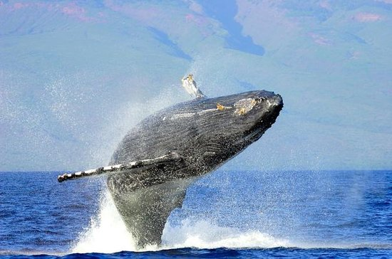 Privat 2-timers charter-Humpback...