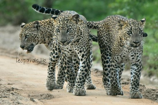 Special Leopard Safari Tour in Yala...
