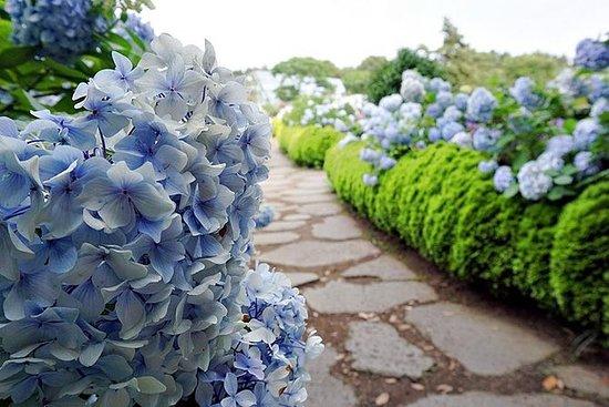 Jeju Island Camellia Hill Flower...