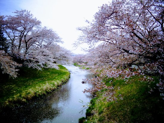 Sakura Trees Along Kannonji River