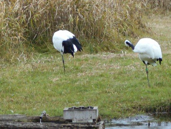 Kushiro City Red-crowned Crane Natural Park: 丹頂鶴自然公園丹頂鶴