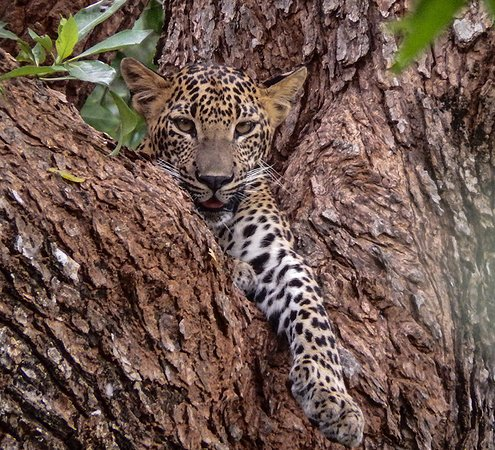Leopard cub in Yala National Park