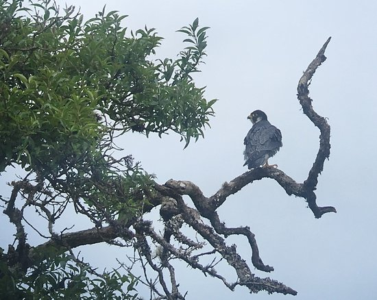 Peregrine falcon! :)