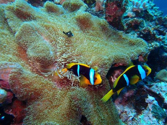 Savusavu, Fiji: Clown fish and anemone.