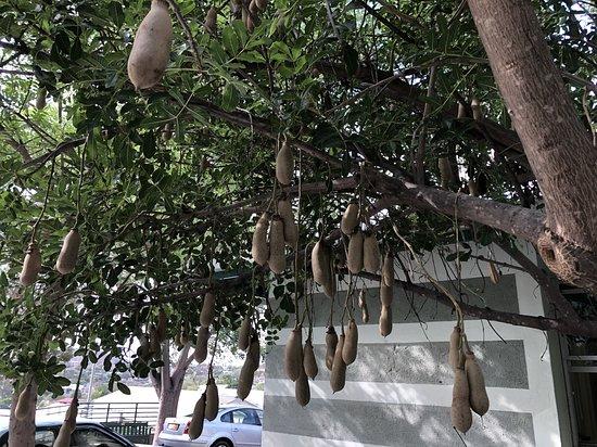A sausage tree