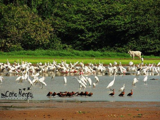 Cano Negro, คอสตาริกา: Dry season... Birds ands more birds