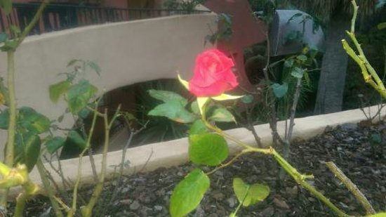 France : Мартовская роза на взморье в Нормандии