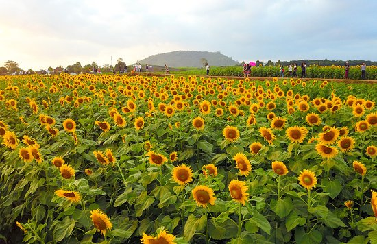 **ALLURE OF SUNFLOWER FIELD** A field of sunflowers in Nghe An Province, Vietnam is what many Vietnamese people wish to visit each time a new year is coming. It looks graceful as a girl at her beautiful age.  #photooftheday #traveltovietnam #vietnamcharms #explorevietnam #vietnamtravelling  #hiddencharm #vietnambeauty