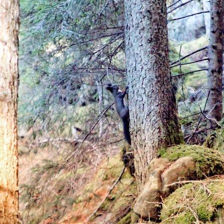 Scoiattolo - Sentiero nel parco naturale Paneveggio