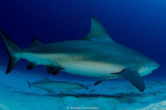 Bulll shark