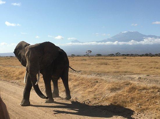 Регион Найроби, Кения: Yep! the perfect Elephant in front of Kilimanjaro photo.  Thank you Joffrey (our guide/driver)!