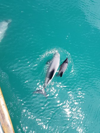 A newborn Hector dolphin and its mother coming up to our sailing yacht! Amazing!