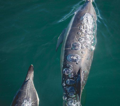 AK Wildlife Cruises: Common Dolphins  - A K Wildlife Cruises