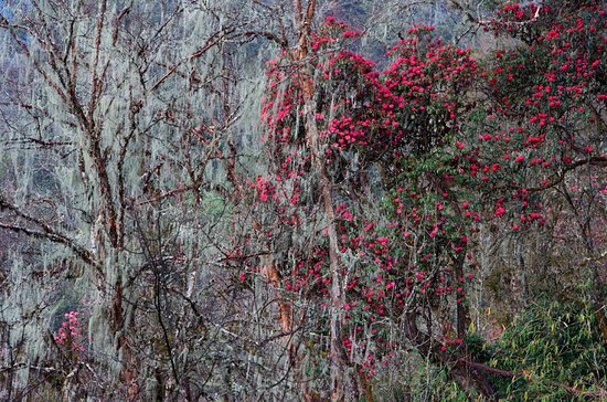 Bhutan Creative Tours: Rhododendron with likens during our botanical tours in Bhutan