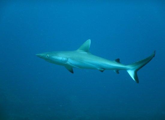 Bébé requin gris. Archipel des Mitsio. Croisière plongée Madagascar.