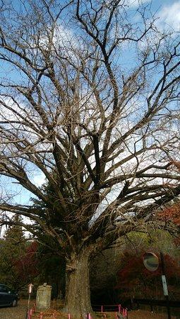 Great Ginkgo Tree of Kannondo