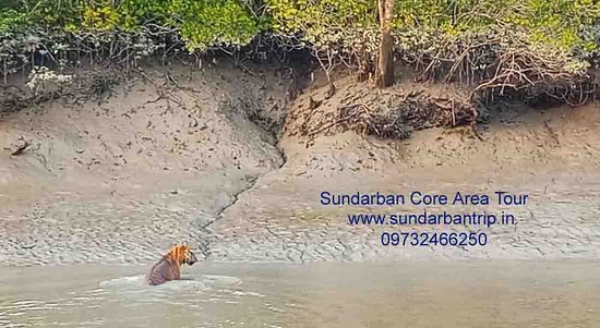 Sundarban Tiger Swimming