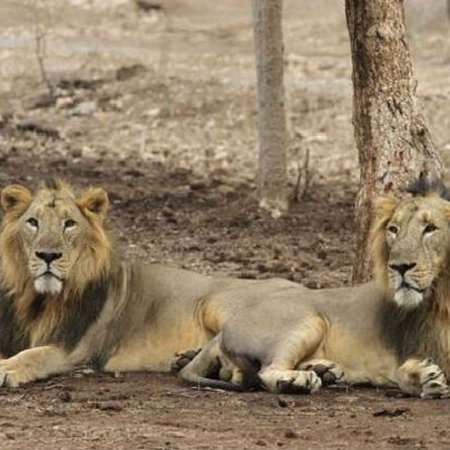 Rajasthan's first lion safari was started in October, 2018 at Nahargarh Biological Park. The park is located on Delhi - Jaipur Highway in the Aravali Foothills, nealy 12 kms from Jaipur known as Pink City. 10 lions were brought from Gir forest, Gujarat through exchange program. The park will be used for breeding lions & will also add new tourism venue to Jaipur.