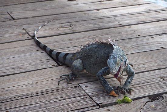 Kokomo beach Curacao: Feeding Iguana in the pavilion at Kokmo Beach